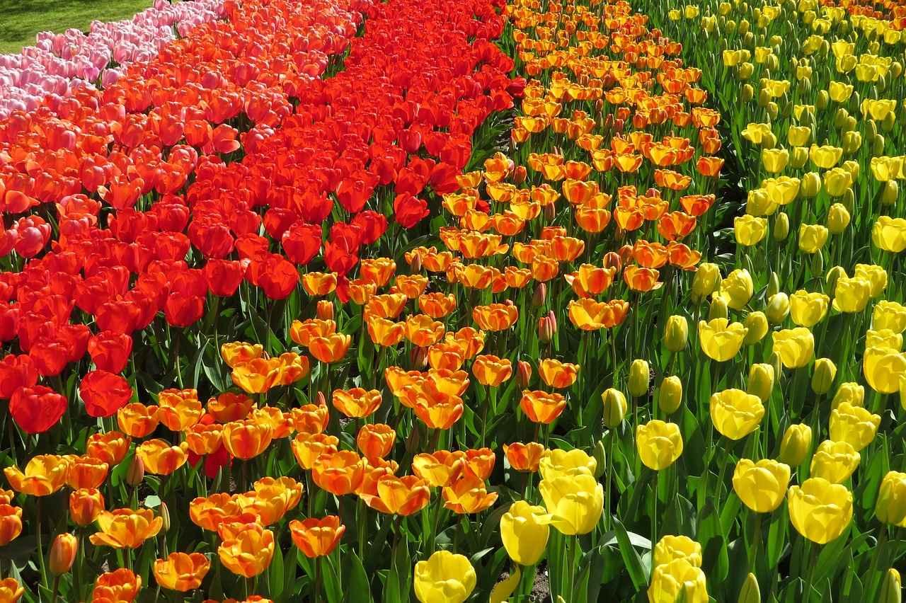 Hollanda'daki en iyi 11 En güzel lale tarlası